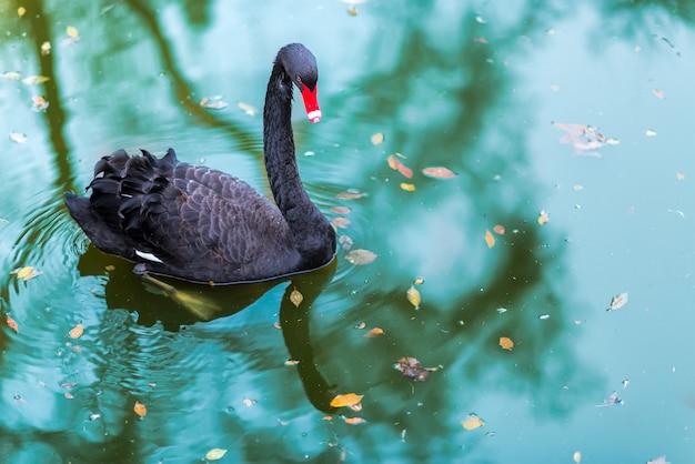 Ein schwarzer schwan in einem teich