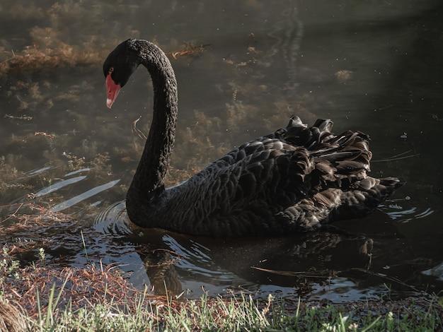 Ein schwarzer schwan schwimmt auf dem wasser