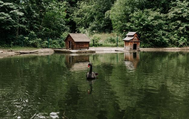 Ein schwarzer schwan schwimmt auf einem künstlichen teich im reservat