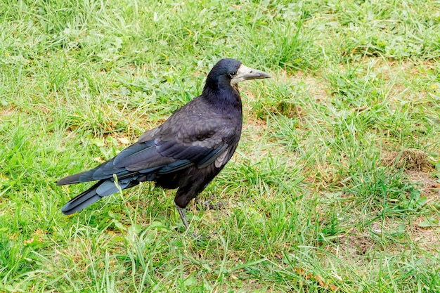 Ein schwarzer turm (rabe) geht im sommer durch das grüne gras