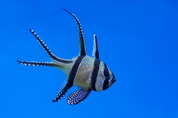 Ein schwarzer weißer gestreifter seefisch (pterapogon) auf einem blauen hintergrund.