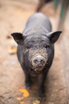 Ein schwarzes schwein auf einem bauernhof, ein großer schwarm, der seine nase zeigt und schnüffelt. oink