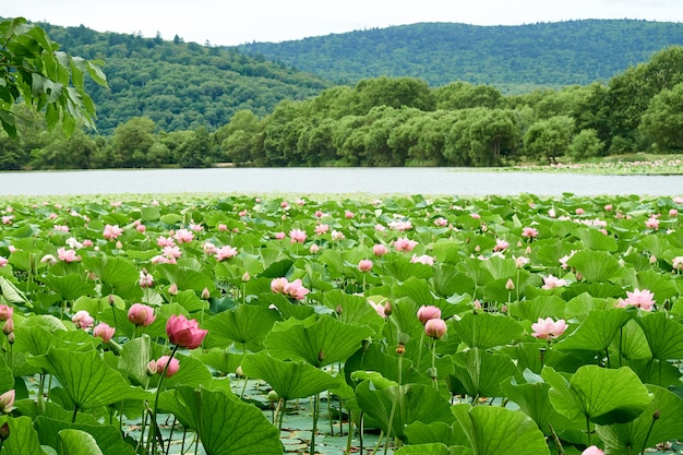 Ein see mit blühenden rosa lotusblumen. herrliche landschaft.
