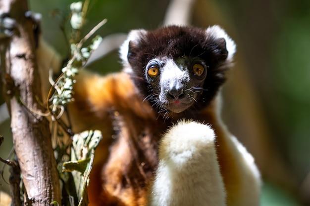 Ein sifaka-lemur, der es sich in der baumkrone bequem gemacht hat