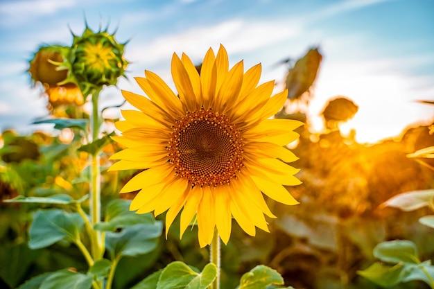 Ein sonnenblumenfeld bei sonnenuntergang am ende der sommersaison und der ernte