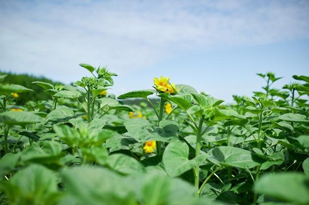 Ein sonniges sonnenblumenfeld in leuchtendem gelbem licht. eine leuchtend gelbe und voll erblühte sonnenblume, natürliches öl, landwirtschaft