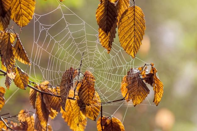 Ein spinnennetz zwischen braunen trockenen blättern im wald. herbsttag im wald
