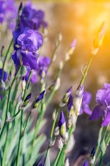 Ein strauch lila iris blüht in den strahlen der frühlingssonne (fokus auf eine blühende knospe) vertikales foto