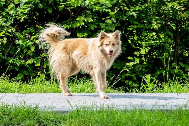 Ein streunender hund auf einem bürgersteig vor einem grünen hintergrund im sommer an einem sonnigen tag