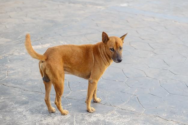Ein streunender hund, der etwas schaut und auf der asphaltstraße steht.