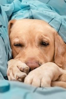 Ein süßer hund schläft auf einem blauen bett. komfortkonzept.