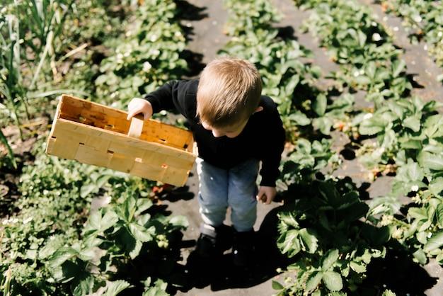 Ein süßer kleiner junge pflückt erdbeeren aus dem garten