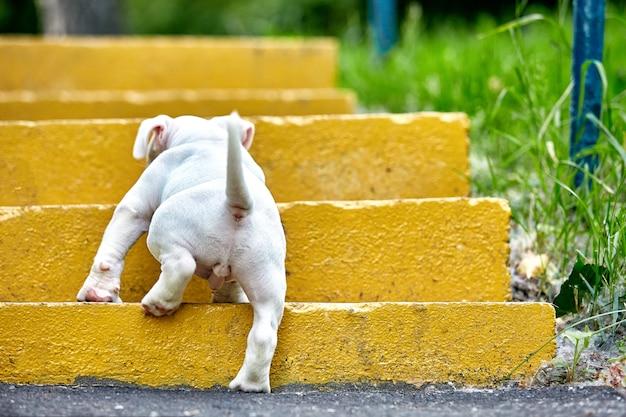 Ein süßer welpe spielt auf den stufen. konzept der ersten lebensschritte, tiere, eine neue generation. welpe american bully.