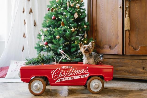 Ein süßer yorkshire-terrier sitzt in einem roten spielzeugauto vor dem hintergrund eines weihnachtsbaums