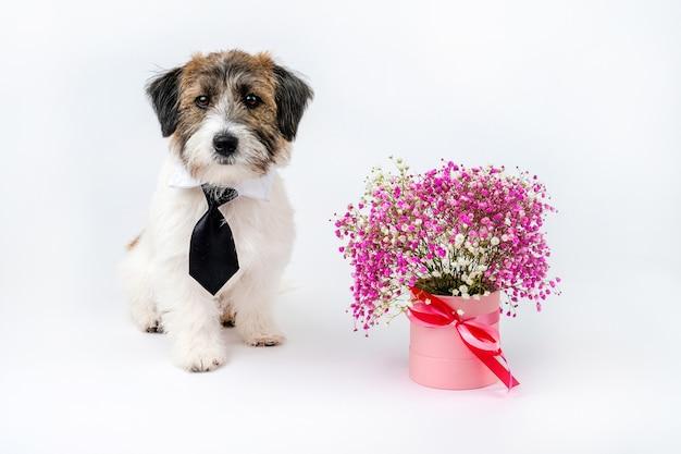 Ein süßer zerbrochener welpe von jack russell terrier mit krawatte sitzt neben einem strauß rosa blumen auf einem weißen hintergrund. damen und herren.