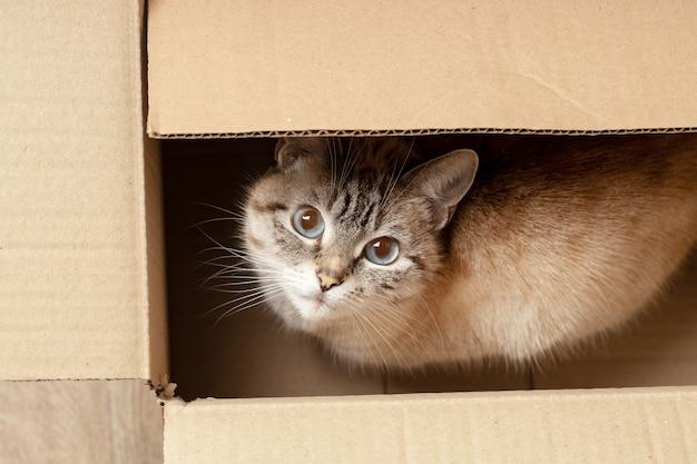 Ein süßes flauschiges hauskätzchen, das sich an der kiste versteckt. obige ansicht