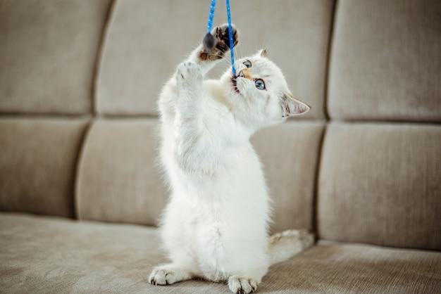 Ein süßes hellgraues britisches kätzchen mit blauen augen spielt auf einem grauen sofa