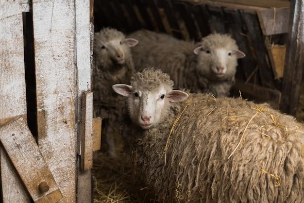 Ein süßes kleines lamm sieht aus. schöne und niedliche schafe innerhalb des bauernhofes essen heu.