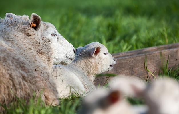 Ein süßes lamm, das mich ansieht