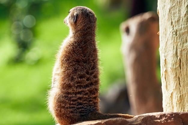 Ein süßes pelziges erdmännchen von hinten, das sich auf einem felsen in einem zoo in valencia, spanien, umschaut