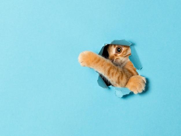 Ein süßes rotes kätzchen späht durch ein loch im papier. verspieltes und lustiges haustier, leer für werbung, poster, verkauf, tierklinik.