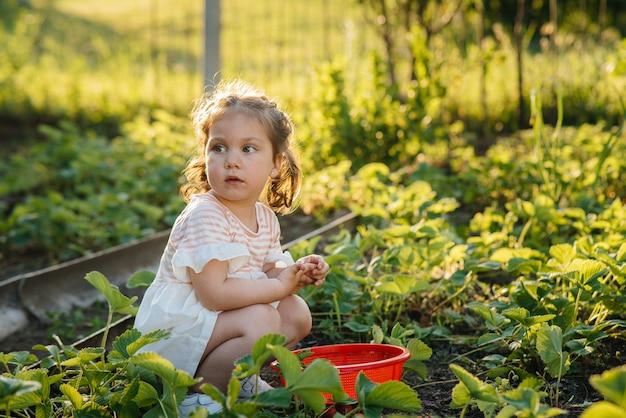 Ein süßes und glückliches vorschulmädchen sammelt und isst reife erdbeeren in einem garten an einem sommertag bei sonnenuntergang. glückliche kindheit. gesunde und umweltfreundliche ernte.