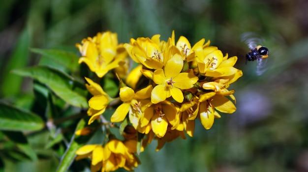 Ein summendes herumfliegen der biene und die bestäubung von hellen gelben kleinen bok choy blumen