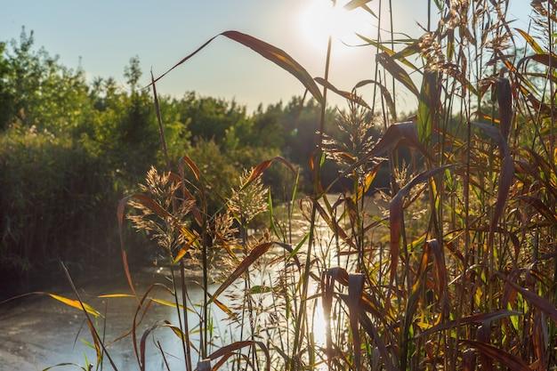 Ein sumpfiger fluss vor dem hintergrund der hellen abendsonne im sommer.