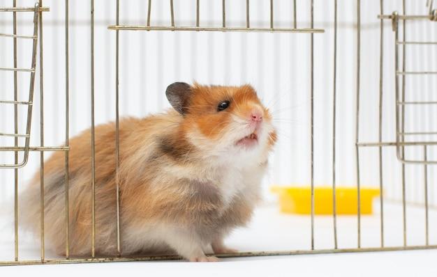 Ein syrischer hamster schaut aus seinem käfig. nahaufnahme, natürliches licht