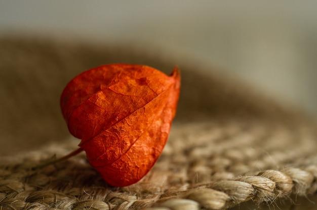 Ein teil der auf einer oberfläche isolierten physalis peruviana-pflanze. physalis pflanze. chinesische frucht. orangenfrüchte physalis. ernte physalis