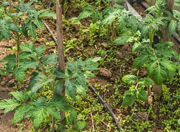 Ein tomatenbeet mit den ersten weißen blüten im gewächshaus.