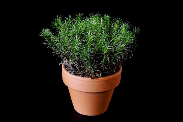 Ein torfmoos polytrichum commune wächst in einem kleinen keramikblumentopf auf schwarzem hintergrund