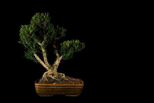 Ein traditioneller japanischer bonsai-miniaturbaum in einem topf lokalisiert auf einem schwarzen hintergrund