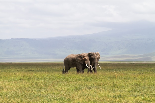 Ein treffen. zwei elefanten kommunizieren. krater ngorongoro, tansania