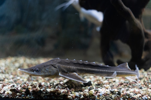 Ein unterwasserfoto eines russischen störs, der fisch schwimmt im aquarium nahe dem tag der steine ...