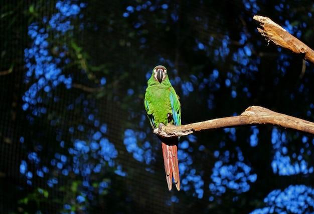 Ein vibrierender grüner papagei, der auf einem baumast, foz nickerchen macht, tun iguacu, brasilien, südamerika