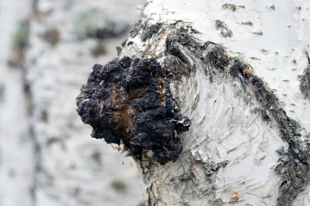 Ein wachstum auf der birke - heilpilz chaga.