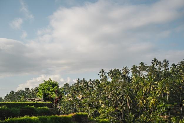 Ein wald aus hohen palmen, der im hintergrund in exotischen ländern wächst