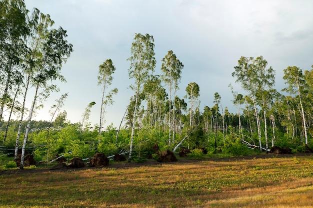 Ein wald, in dem viele birken nach dem letzten sturm, der dämmerung und dem sonnenuntergang zerbrochen sind