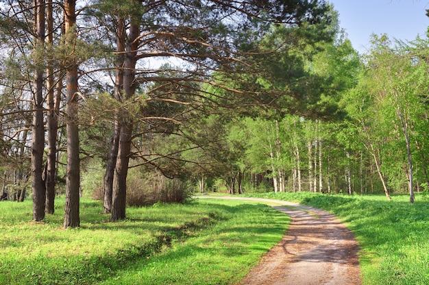 Ein weg im sonnigen wald feldweg inmitten von kiefern und birken mit frischem frühlingslaub