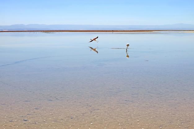 Ein wegfliegender flamingo mit einer weide in der chaxa-lagune, salar de atacama-salzwüste, chile