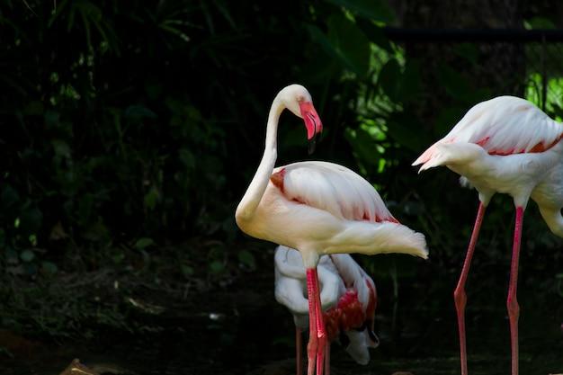 Ein weißer flamingo, der im wasser nach nahrung sucht.