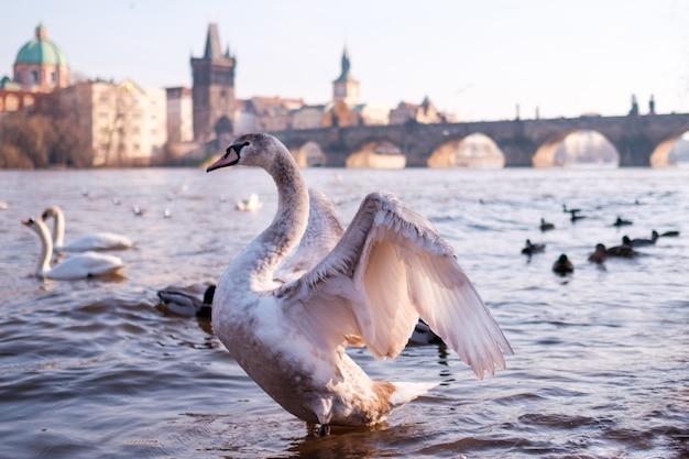 Ein weißer schwan in der moldau der karlsbrücke in prag.