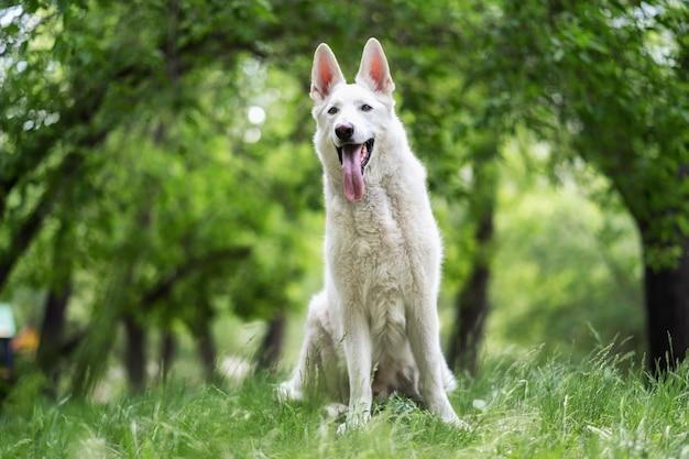 Ein weißer schweizer hirte sitzt im gras