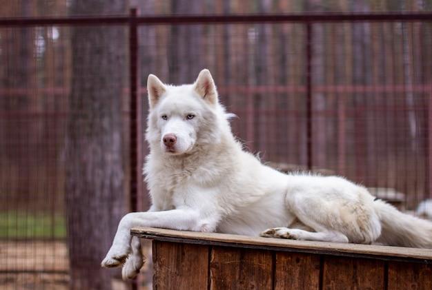 Ein weißer siberian husky liegt auf einem holzhaus. der hund lügt, langweilt sich und ruht sich aus.
