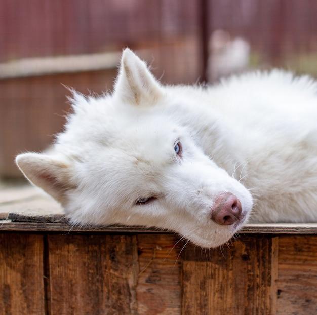 Ein weißer siberian husky liegt auf einem holzhaus.