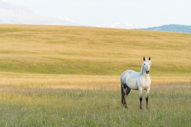 Ein weißes pferd weidet auf einer wiese in den bergen. schöner weißer mustang