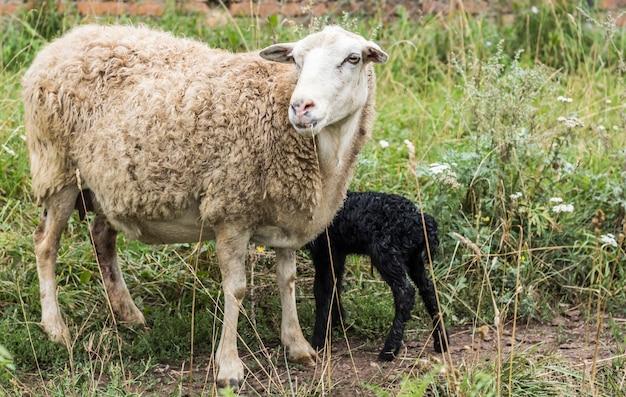 Ein weißes schaf mit einem gerade geborenen schwarzen lamm.