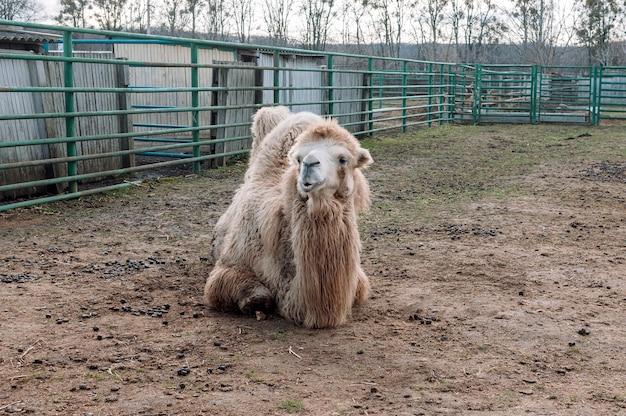 Ein weißes trampeltier liegt in seiner koppel auf einem bauernhof am boden. camelus bactrianus, ein großes huftier, das in den steppen zentralasiens lebt.