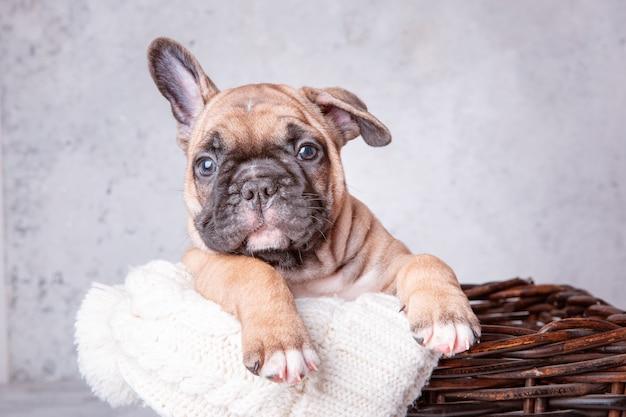 Ein welpe der französischen bulldogge in einem korb